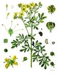 Ruta_graveolens_-_Köhler–s_Medizinal-Pflanzen-259